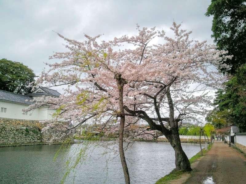彦根城 お堀と桜1