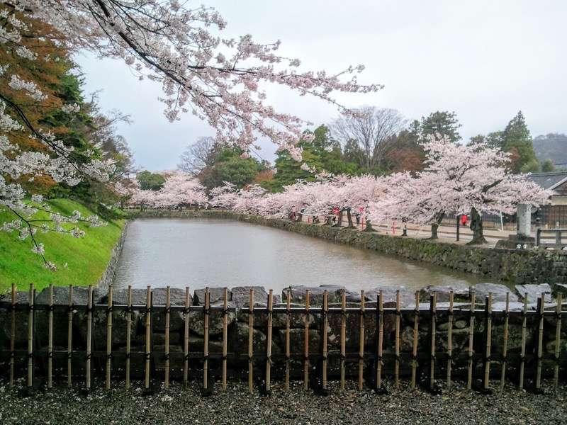 彦根城 お堀と桜2