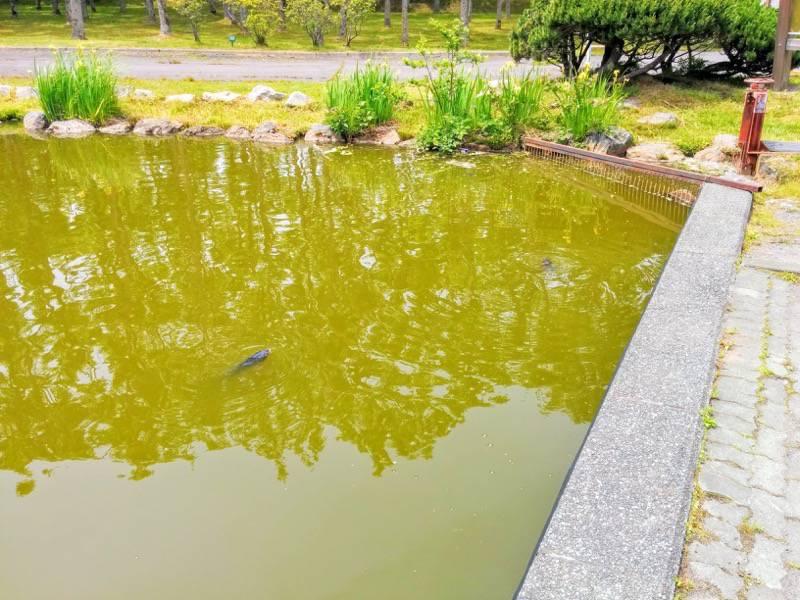鶴ケ岱公園 ひょうたんの池の魚2