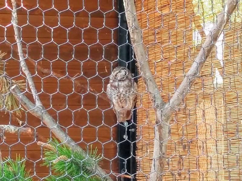 旭山動物園 キンメフクロウ