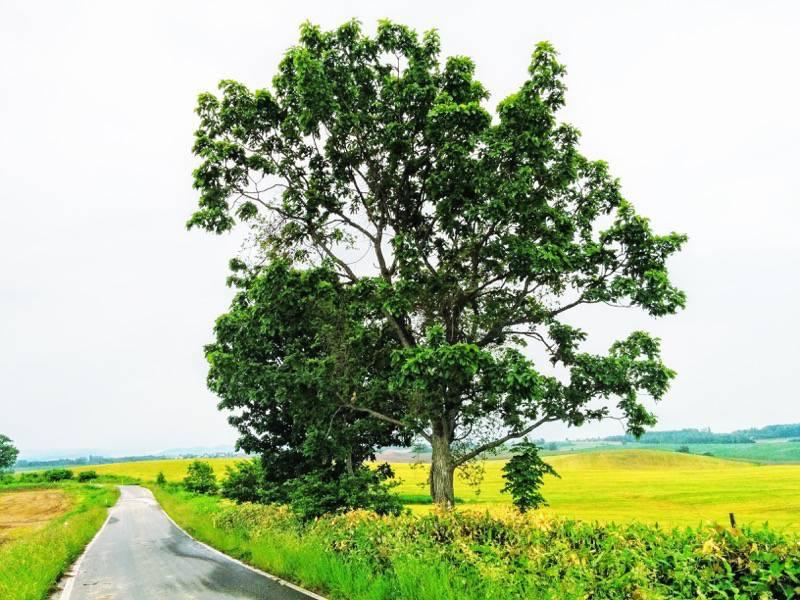 美瑛 親子の木1