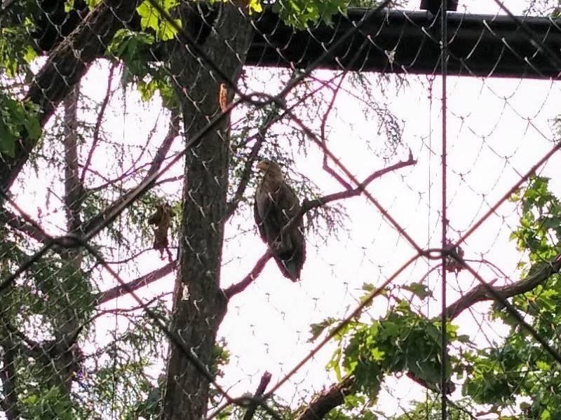 旭山動物園 オジロワシ