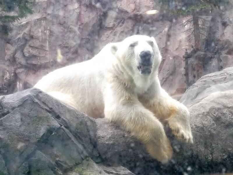 旭山動物園 ホッキョクグマ4