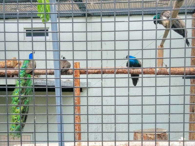 旭山動物園 インドクジャク1