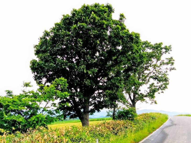 美瑛 親子の木3