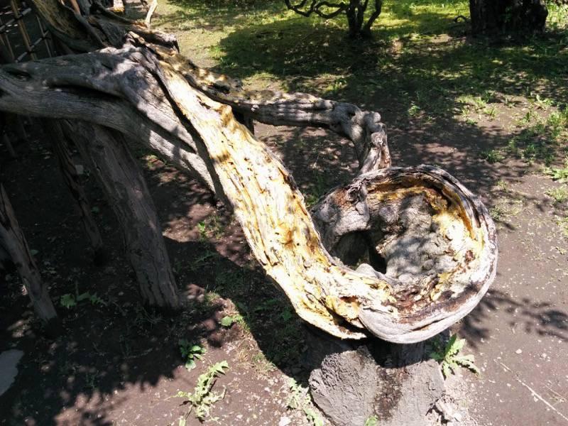 五稜郭公園 すごい形の木