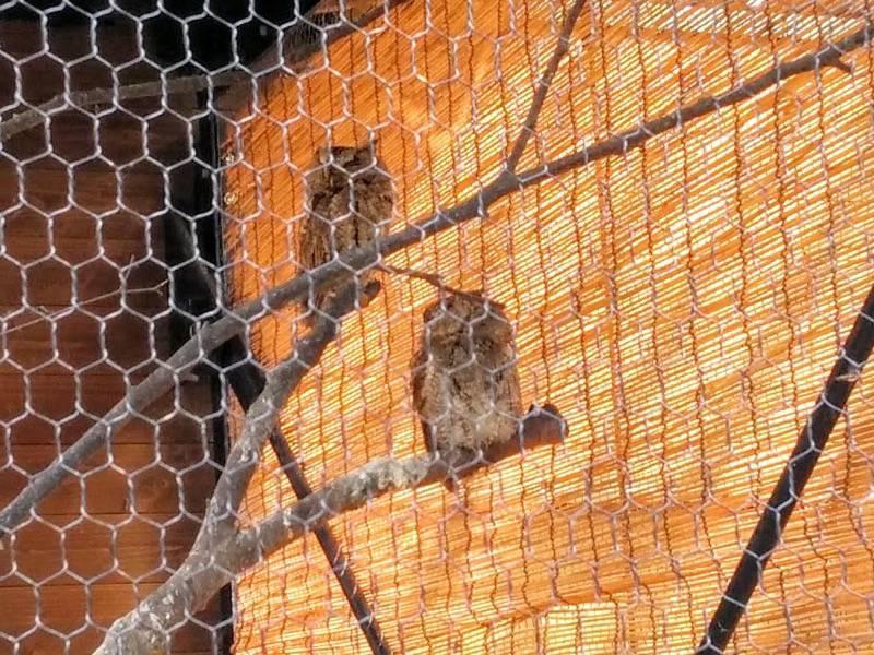 旭山動物園 オオコノハズク