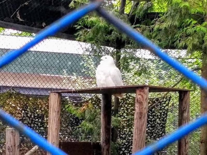 旭山動物園 シロフクロウ
