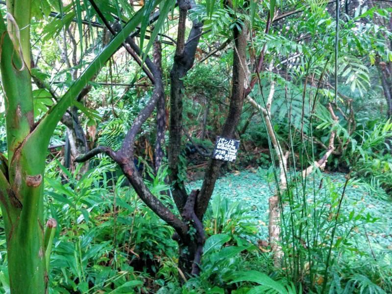 屋久島フルーツガーデン 植物案内13