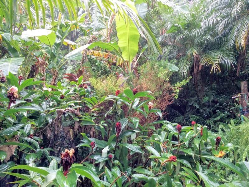 屋久島フルーツガーデン 植物案内11