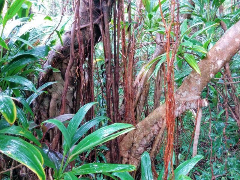 屋久島フルーツガーデン 植物案内16