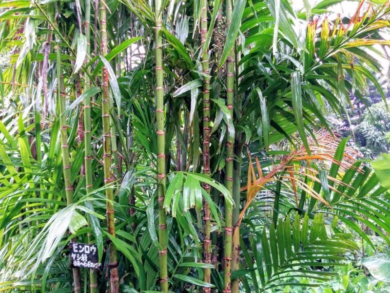 屋久島フルーツガーデン 植物案内9