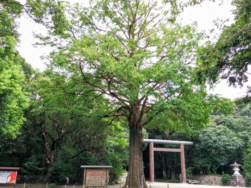 宮崎神宮 保存樹