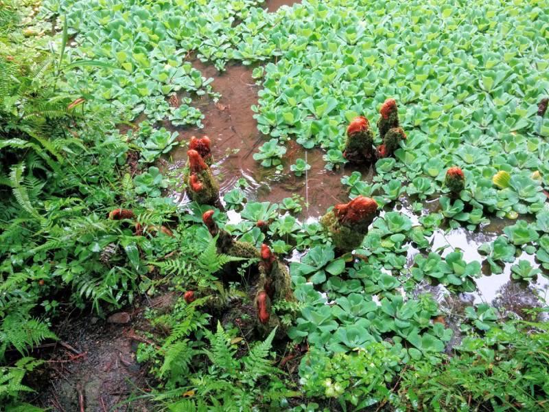 屋久島フルーツガーデン 植物案内5