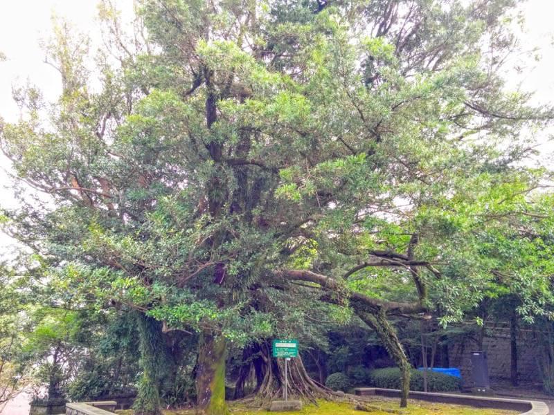多賀山公園 保存樹