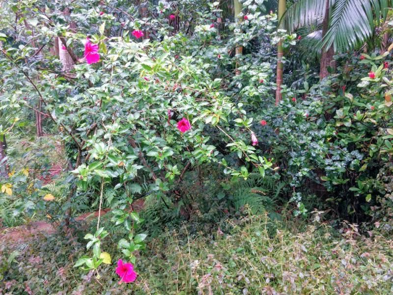 屋久島フルーツガーデン 植物案内19