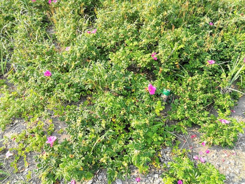29石狩浜海浜植物保護センター
