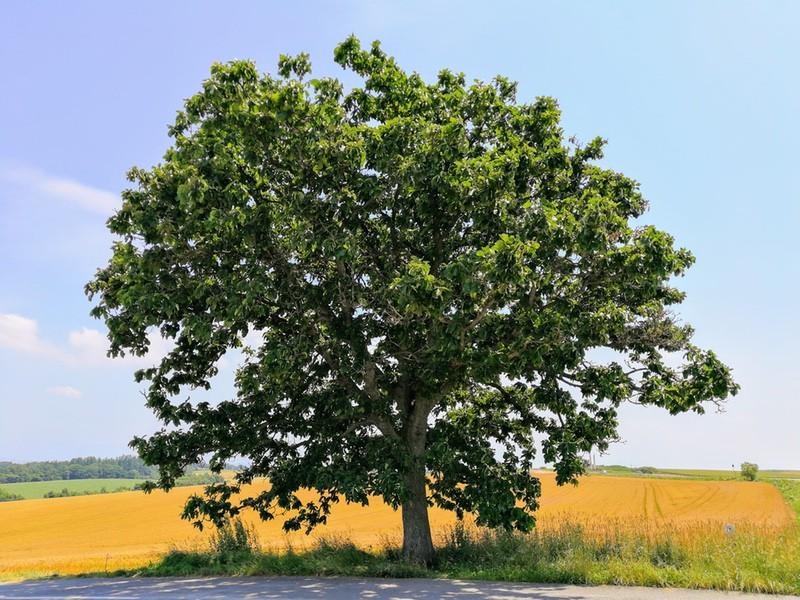 01セブンスターの木